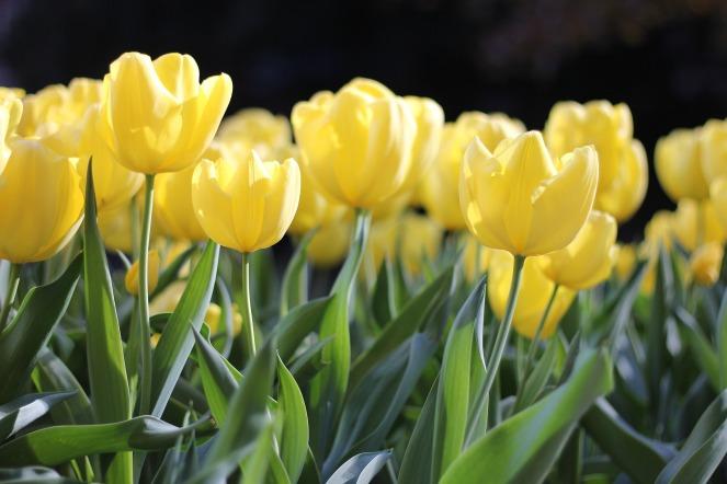 tulips-1083572_1920