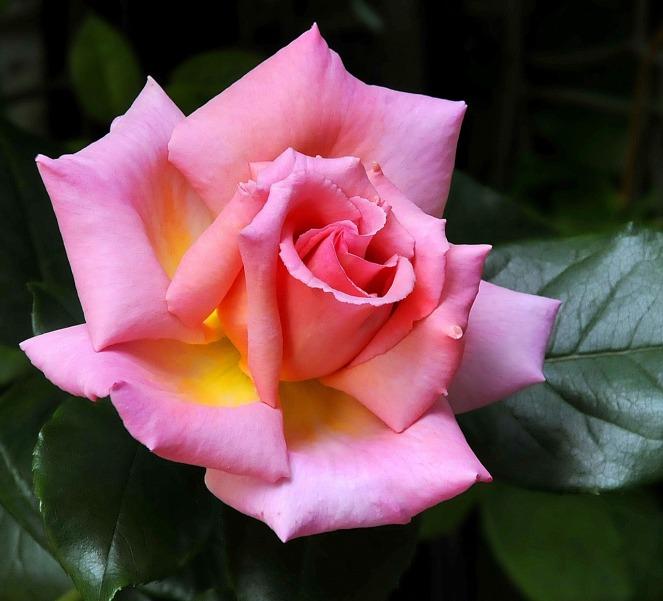 climbing-rose-1457492_1280